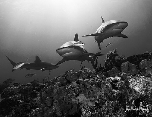 An almost trifecta with Reef Sharks on the beautiful reef... by Steven Anderson 
